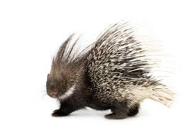 Image result for free porcupine photos